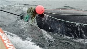 "In a new study published this week in Endangered Species Research, North Atlantic right whale scientists found that whales who undergo prolonged entanglements in fishing gear endure ""sky-high hormone levels."""