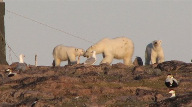 Polar bears eating bird eggs. Without sea ice to hunt seals, in desperation bears will forage in bird colonies and can literally destory an entire colony