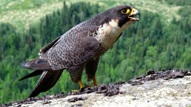 Le Comité sur la situation des espèces en péril au Canada recommande au gouvernement fédéral de retirer le faucon pèlerin de la liste des espèces en péril.