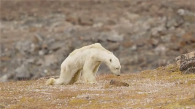An emaciated polar bear starving because of a lack of sea ice to hunt, filmed in its final moments on Baffin Island in late summer this year.