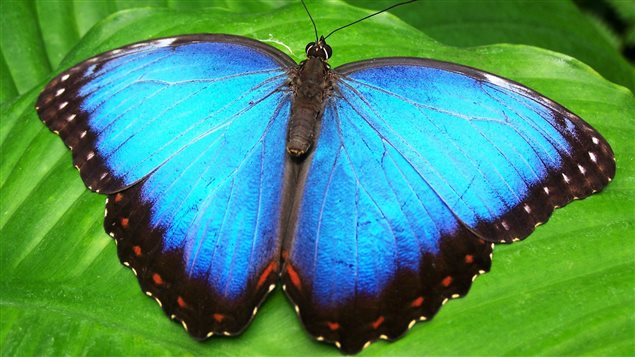 Among the butterflies to be featured at the museum will be the Blue Morpho.