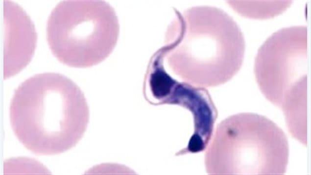 Microscopic image of protozoan parasite named Trypanosoma cruzi -chagas disease