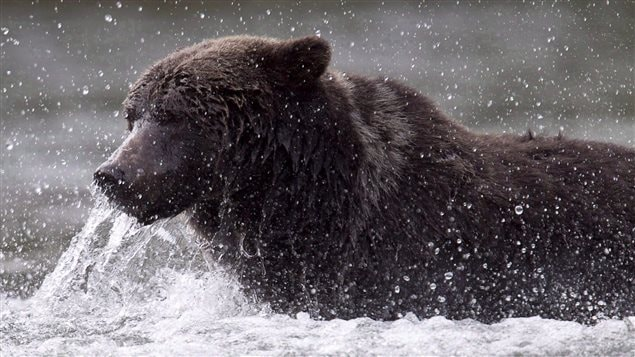 Grizzly bears are omnivores and particularly like fishing for salmon.