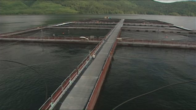 Marine Harvest operates over 30 fish farms in B.C., which employ over 500 people.