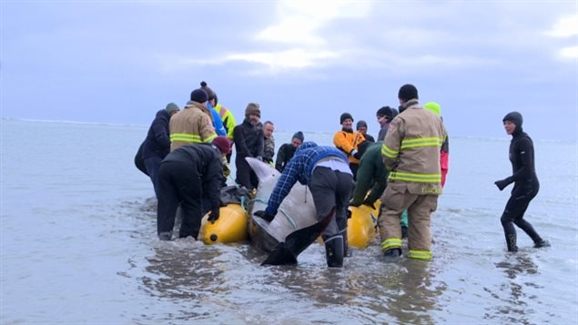 About 100 volunteers turned out to Rainbow Haven Beach east of downtown Dartmouth, N.S., on Monday morning to help rescue a beached pilot whale. Rescuers used an inflatable raft to help get the beached whale out to sea.