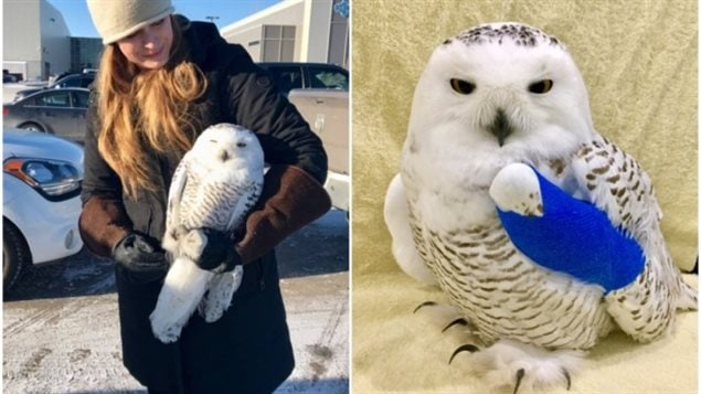 Tahoe, the snowy owl, was rescued and is being treated for a concussion and broken wing by Megan Lawrence.