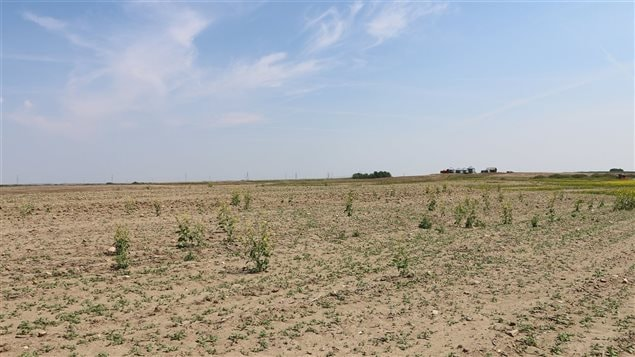 This should be a bright yellow field of mustard plants. In 2015 Alberta declared an *agricultural disaster* due to drought. Drought is often followed by flooding as dried earth is unable to quickly absorb heavy rains, another feature of changing climate