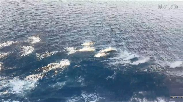 A pod of dolphins frolicked in a ferry's wake off Canada's Pacific coast on New Year's Day.