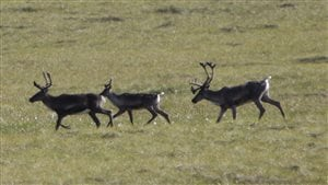 This Aug. 12, 2009 photo shows migrating caribou in the Porcupine River Tundra in the Yukon Territories.