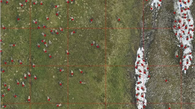 Biologists carefully enumerate caribou in photographs collected over the Richardson Mountains in July 2017 by zooming in and placing a dot on individual caribou.