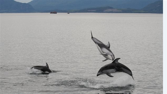 Pacific white-sided dolphins have returned to Canada's west coast.