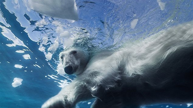 Michon will have to look out for polar bears during his 1,500-kilometre trek and dives along the Northwest Passage. The majestic Arctic predators are excellent swimmers and can kilometres of open water.