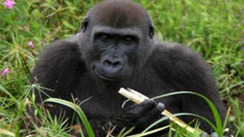 Un gorille des plaines de l'ouest