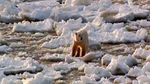 Ours polaire sur la banquise fondante