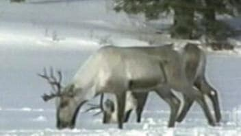 Caribous forestiers