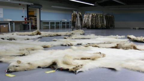 Des fourrures d'ours polaire