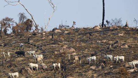 Déforestation amazonienne pour faire place à l'élevage.