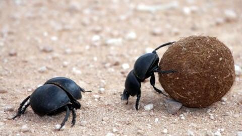 Des scarabées bousiers