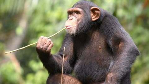 Un chimpanzé droitier