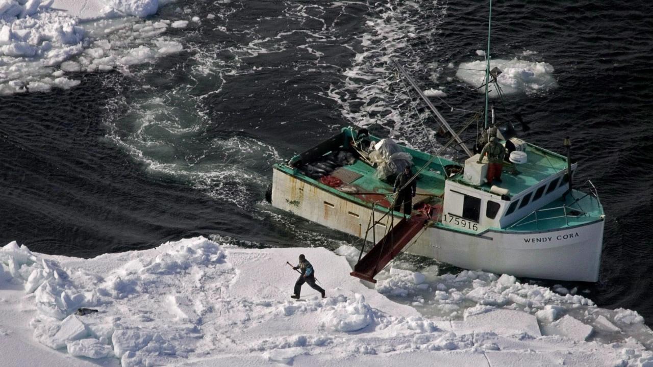 Chasse aux phoques dans l'est du Canada.