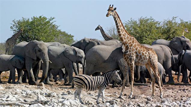 Un zèbre, une girafe et des éléphants