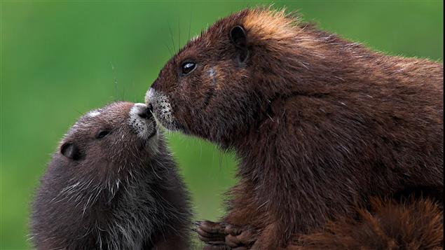 Deux marmottes de Vancouver (leur nom de mammifère)