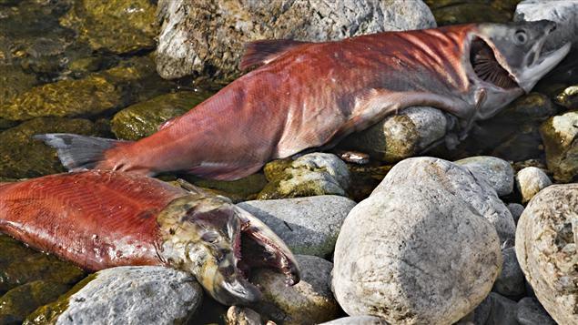 Saumons morts après s'être reproduits dans la rivière Adams, en Colombie-Britannique