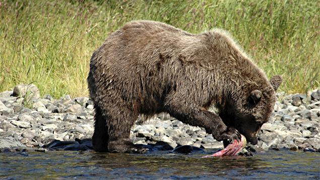 Ours ayant pêché un saumon