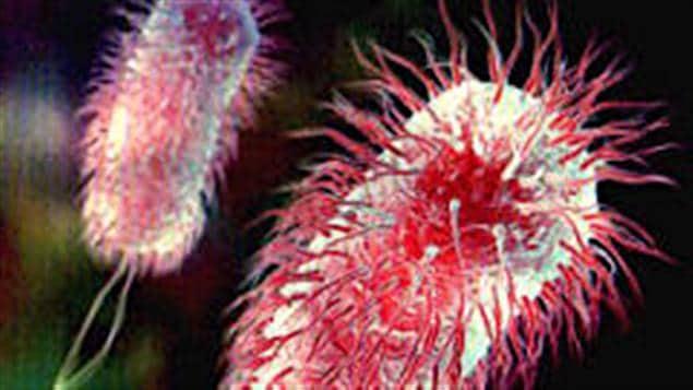 Une bactérie E. coli