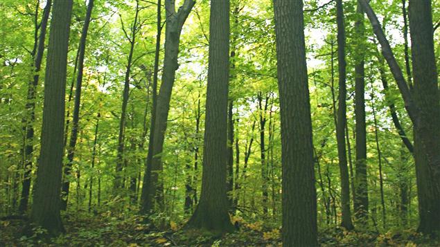 Le bois du mont Saint-Bruno