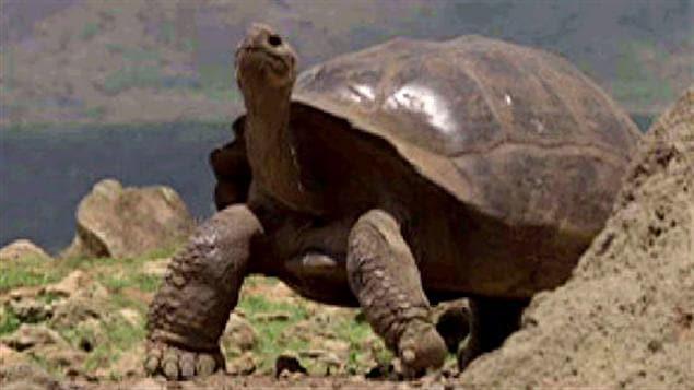 Une tortue géante des îles Galapagos.