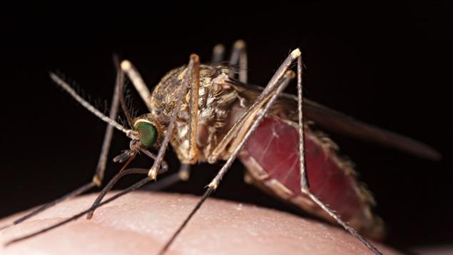 Un moustique