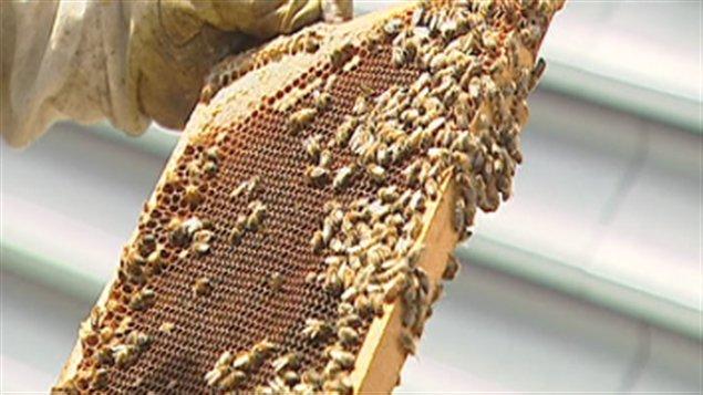 Le miel sera récolté à la fin du mois d'août