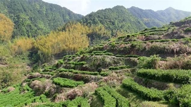 Jardin de thé © Camilia Sinensis