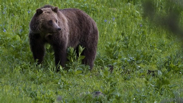 Un ours grizzly