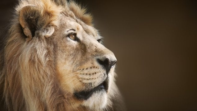 La tête d'un lion