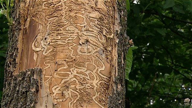 Des galeries creusées par les larves de l'agrile du frêne sous l'écorce d'un arbre infesté (archives).