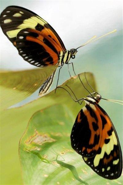 Photo diffusée par le CNRS d'un papillon Melinaea mneme et d'un papillon Heliconius numata