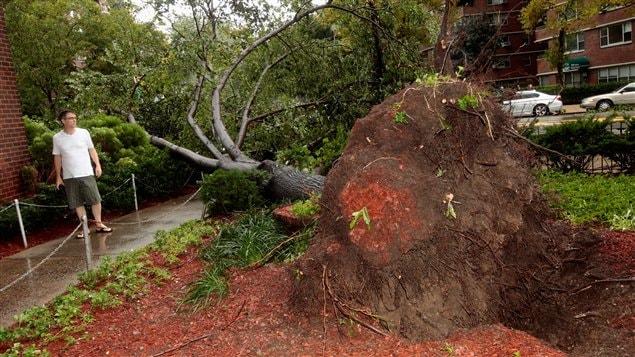 Un arbre déraciné à New York après le passage de l'Ouragan Irene.