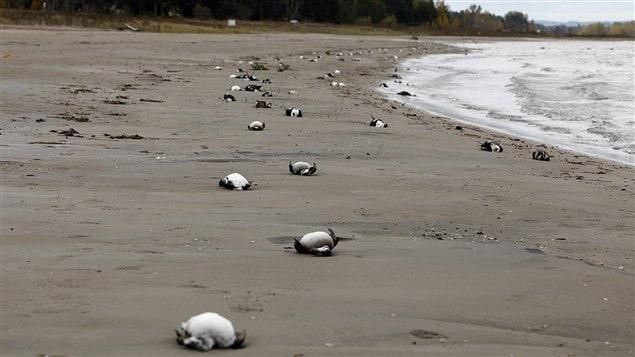 Des milliers d'oiseaux se sont échouées sur les berges de la baie Georgienne