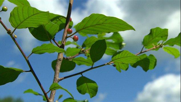 Le nerprun a été importé en Amérique pour l'horticulture ornementale.