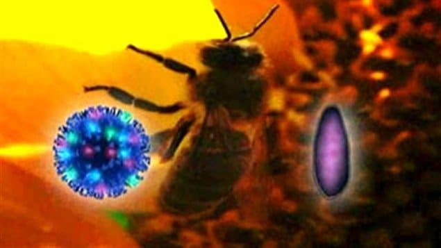 Le syndrome d'effondrement des colonies d'abeilles