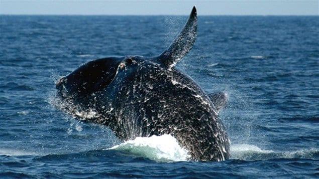 Une baleine franche de l'Atlantique Nord
