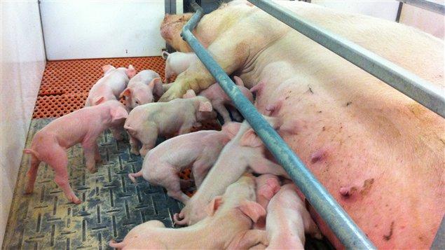 Le Manitoba souffre du manque d'éleveurs de porcs, qui sont nombreux à avoir abandonné l'industrie depuis l'entrée en vigueur du moratoire en 2006.