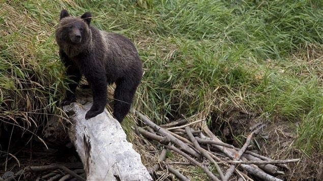 Il y a environ 40 000 ours noirs en Alberta