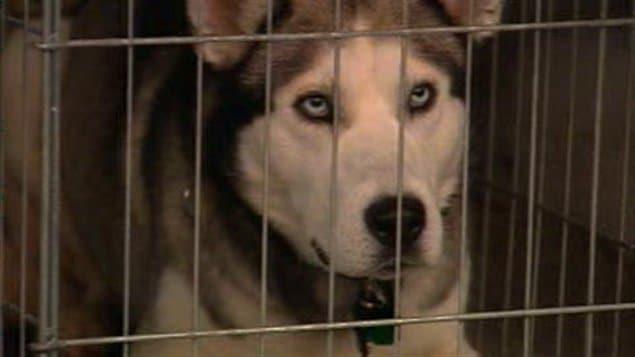 L'un des chiens qui a attaqué le poupon de 21 jours en Montérégie