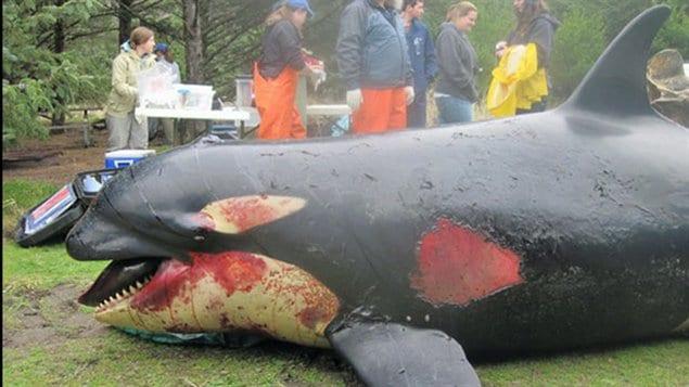 Un examen préliminaire de l'orque indique qu'elle a été victime d'un traumatisme important à la tête, à la poitrine et sur le côté droit de son corps.