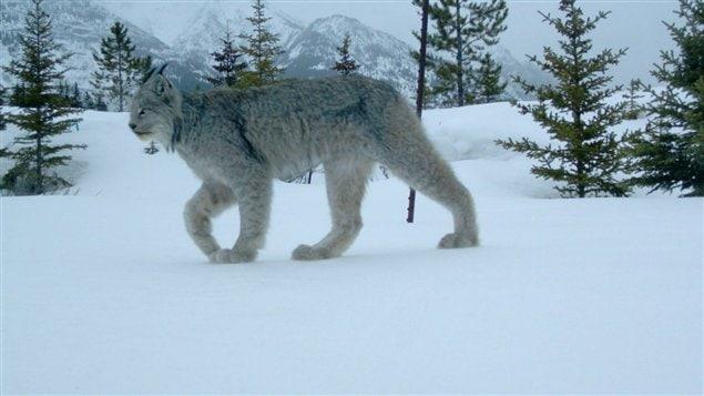 Cette photo d'un lynx du Canada a été prise par des chercheurs du parc national de Banff le 28 mars 2012.