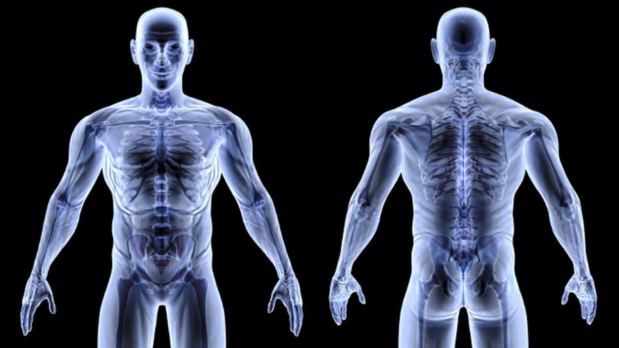 Les muscles humains
