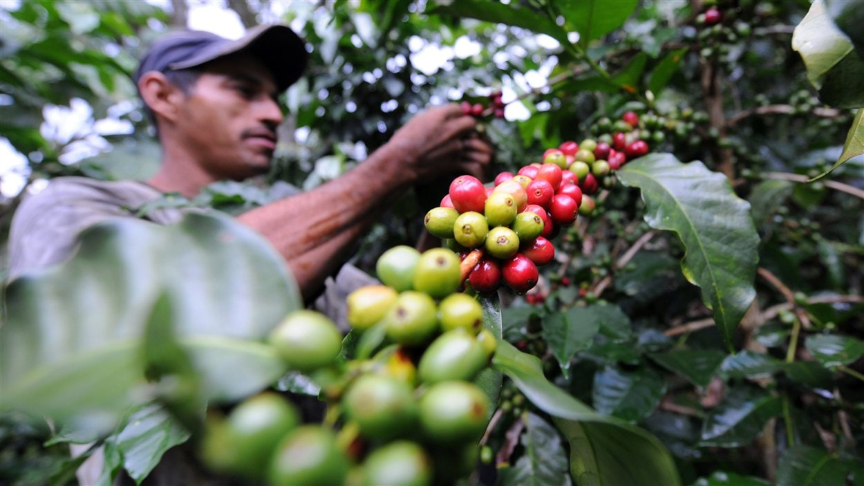 Un travailleur dans une plantation de café en Colombie.